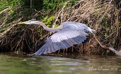 Heron Leaves waterB