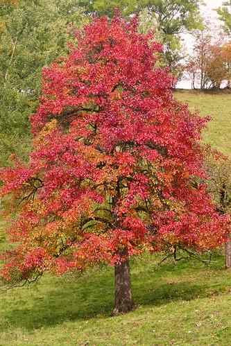 Rot leuchtender Birnbaum im Herbst