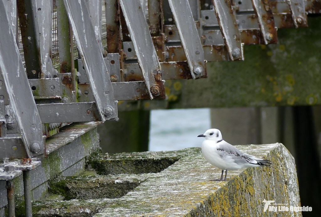 P1100928 - Kittiwakes, Mumbles Pier