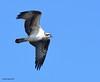Balbuzard pêcheur / Osprey by anjoudiscus