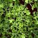 58501.02 Hydrangea paniculata 'Grandiflora' by horticultural art