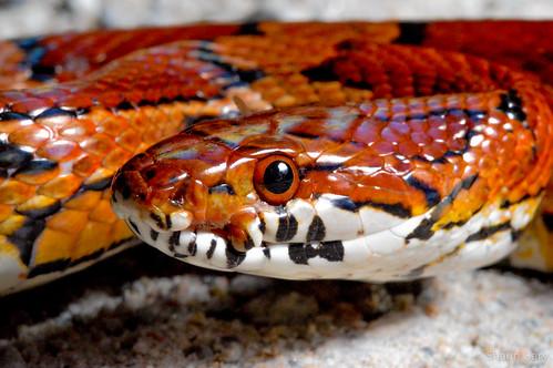 Jasper Co. Corn Snake