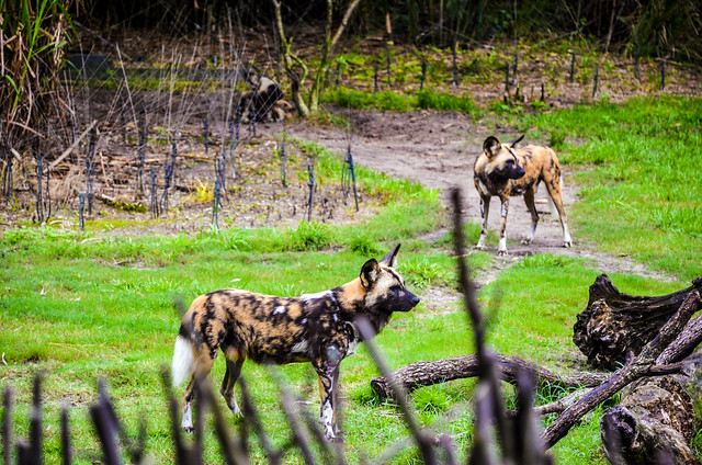 Painted dogs WAT AK