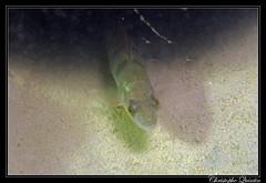 Perche (Perca fluviatilis)