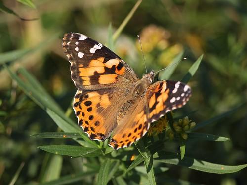 butterfly oshawa ontario canada can paintedlady vanessacardui