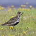European Golden Plover - Iceland