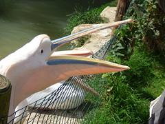 Cerza Zoo - pelican (4)