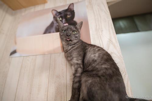 アトリエイエネコ Cat Photographer 36226845682_870935fdc6 保護猫カフェかぎしっぽ