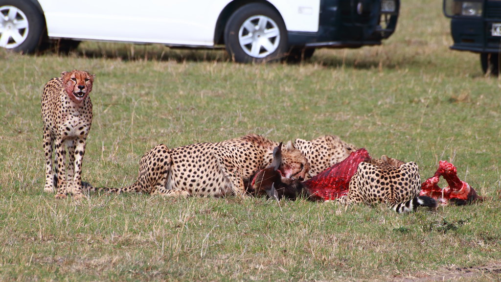Cheetahs with wildebeest kill!