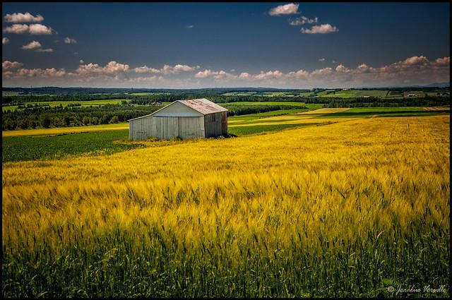 Dans les champs de blé / In wheat fields