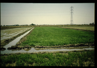 View Of Early Stand Of Direct-seeded Rice = 直播水稲初期生育