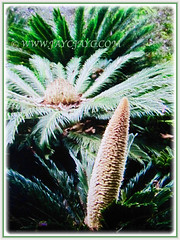 Male cone and female megasporophylls of Cycas revoluta (Japanese Sago Palm, King Sago, Sago Cycad/Palm), 14 Aug 2017
