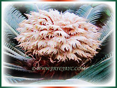 Female megasporophylls of Cycas revoluta (Japanese Sago Palm, King Sago, Sago Cycad, Sago Palm), 14 Aug 2017