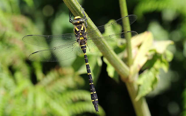Golden-ringed Dragonfly -Cordulegaster boltonii, Canon EOS 60D, Canon EF 100mm f/2.8L Macro IS USM