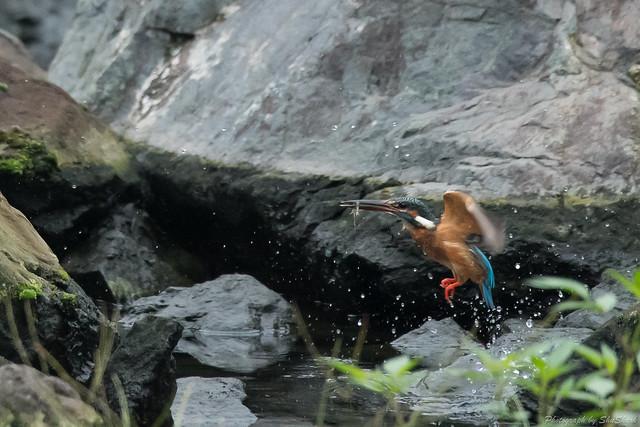 20170819-Kingfisher-DSC_0193