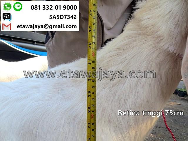 betina-75cm-20170907-23