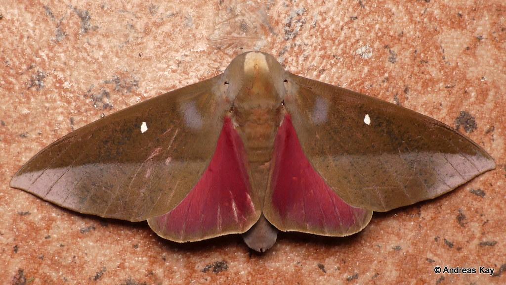 Saturniid Moth, Othorene hodeva