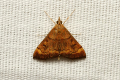 Pyrausta rubricalis (Variable Reddish Pyrausta Moth) - Hodges # 5051