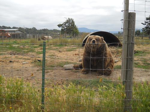 Smiling Bear #3