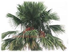 Leaves of Saribus rotundifolius (Round-leaf Fountain Palm, Fan/Footstool Palm, Table Palm, Java Fan Palm, Anahaw Palm) with ends that are variously pendulous or outstretched, 3 Sept 2017