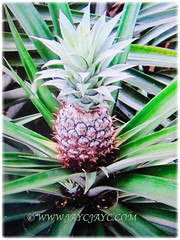 Ripened fruit of Ananas comosus (Pineapple, Nenas in Malay) waiting to be harvested, 13 Sept 2017