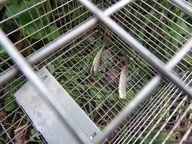 檻の中の餌(コマイの干物)DSC03863