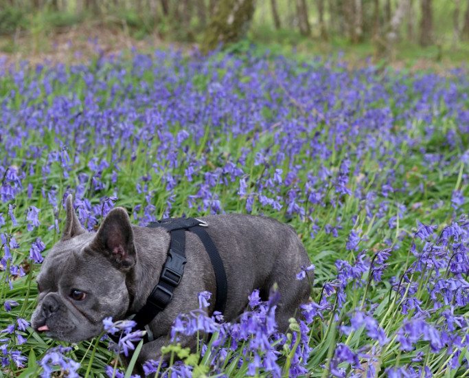 lifestyle, betty and burt, katelouiseblog, woodland walks, sunday musings, what to do in ludlow, bluebell wood, french bulldog, staffordshire bull terrier,