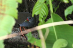 Pain billed crake