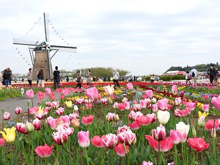 佐倉チューリップフェスタ 1 オランダ風車07