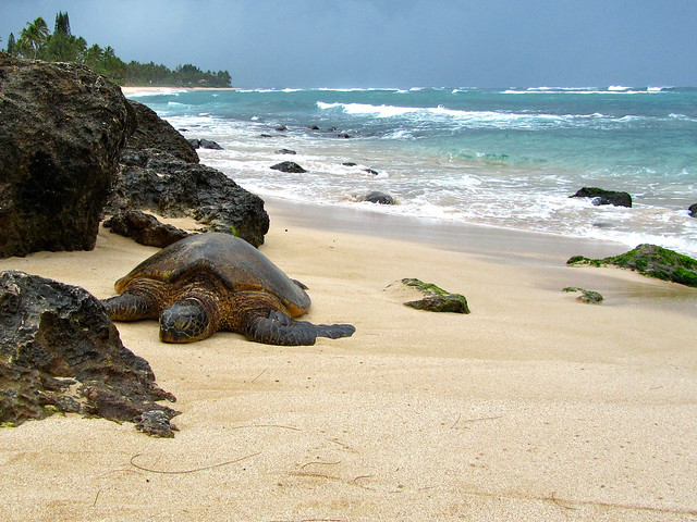 Sea turtle at Laniakea Beach, Hawaii