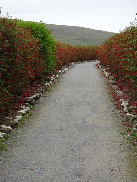 Fuchsia Lined Path