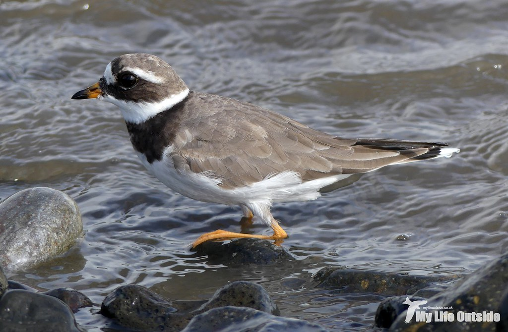 P1120239 - Ringed Plover