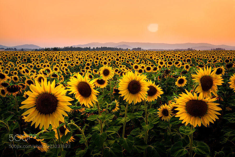 Sunflowers And Smoke by BrandtM   Kevin Seawright's ...