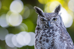 Portrait of a Spotted eagle-owl (Bubo africanus)