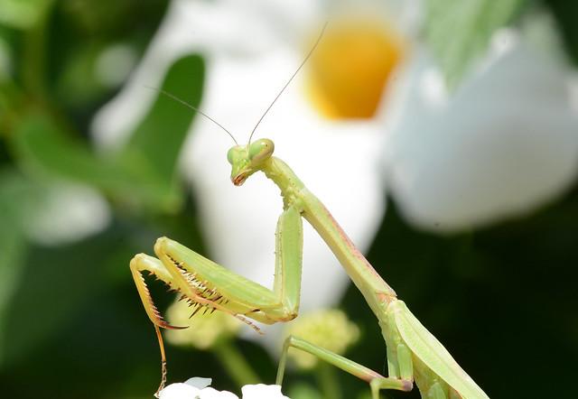 mantis in the garden, Nikon D7100, Sigma Macro 105mm F2.8 EX DG OS HSM