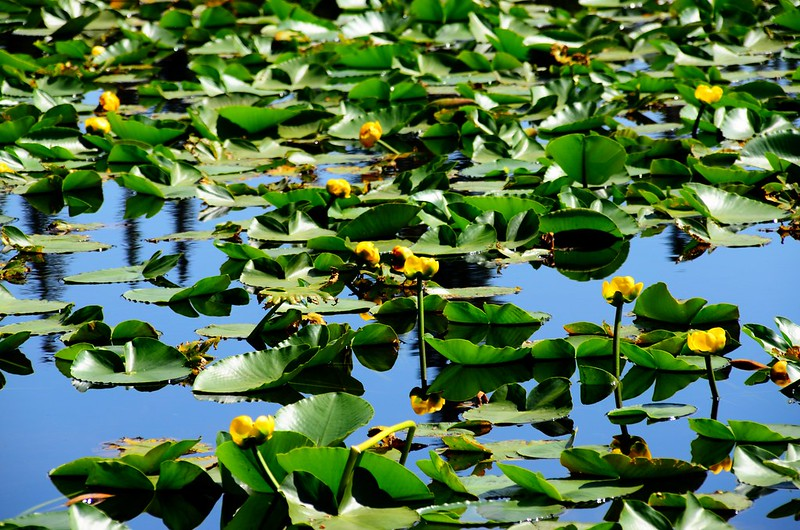 Yellow Water Lily (7)