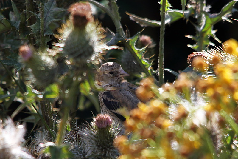 Juvenile Goldfinch in Thistles