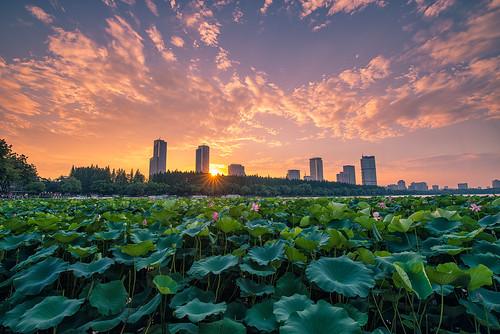 sunset lotus pond lake flower cloud dusk twilight petal green landscape city urban park outdoor nanjingshi jiangsusheng china cn sky architecture nikon nikond800 tamronsp1530f28 summer