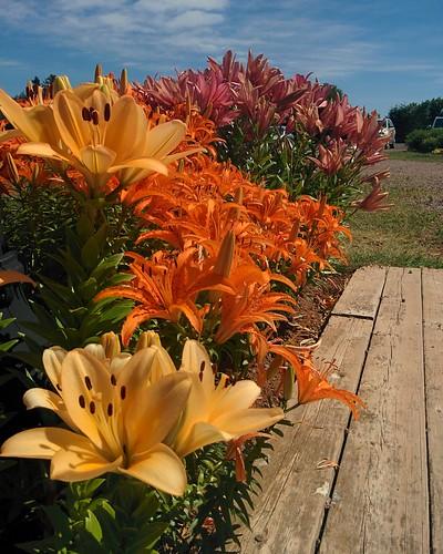 Gardens of Avonlea Village (1) #pei #princeedwardisland #cavendish #avonleavillage #garden #flowers