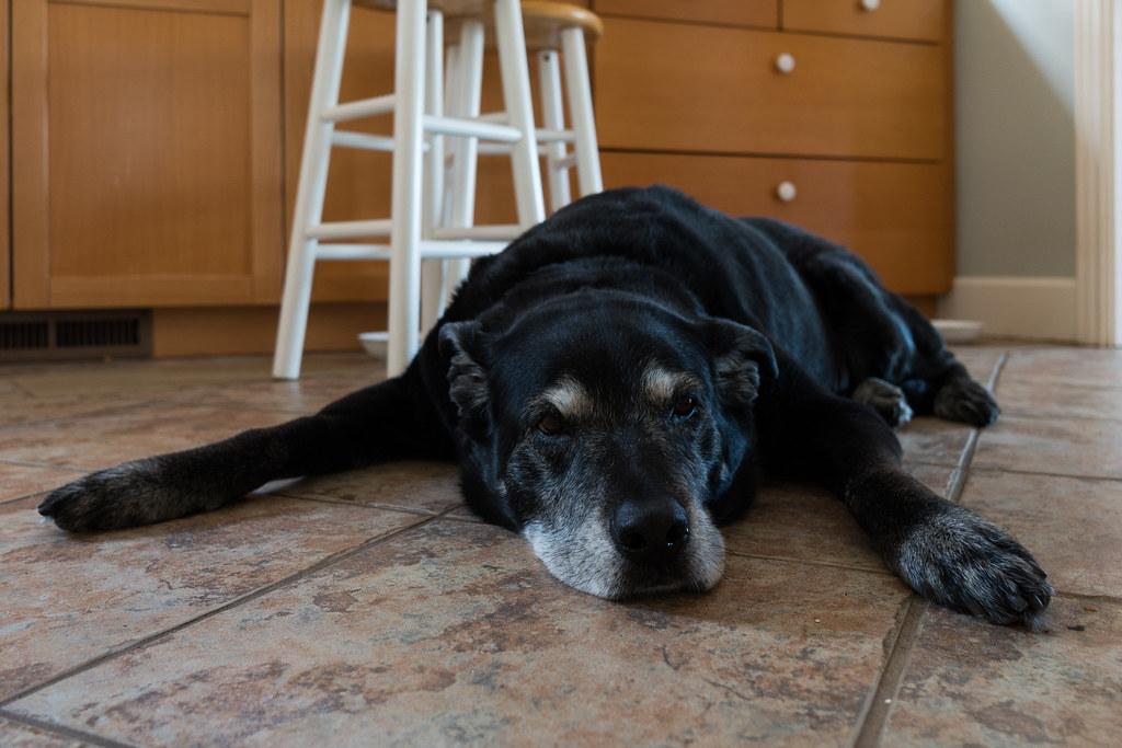 Our dog Ellie rests on the kitchen floor