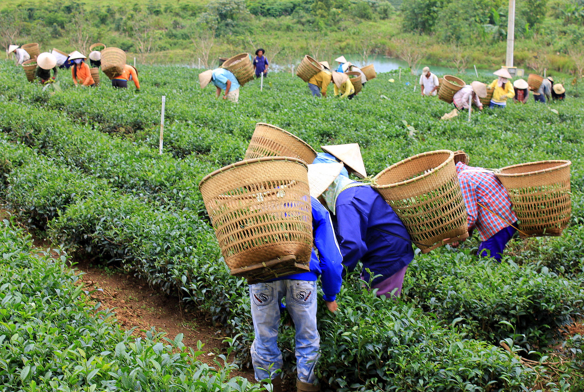Tea plantations of Central Highlands in Vietnam