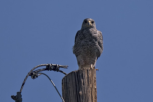 AZ: Gray Hawk on Pole