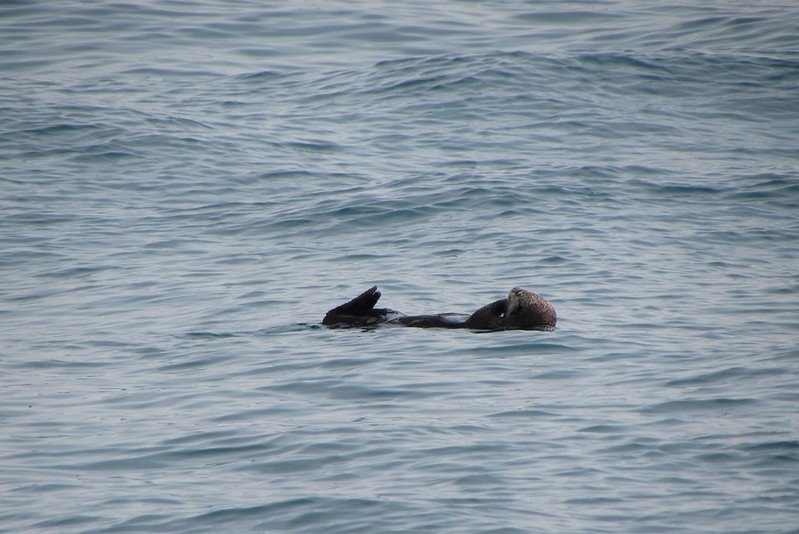 A sea otter doing the backstroke (this was the favourite position of most of these creatures)