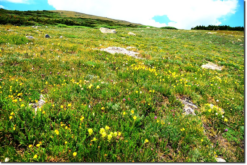 Wildflowers blooming at Saint Mary's Glacier above
