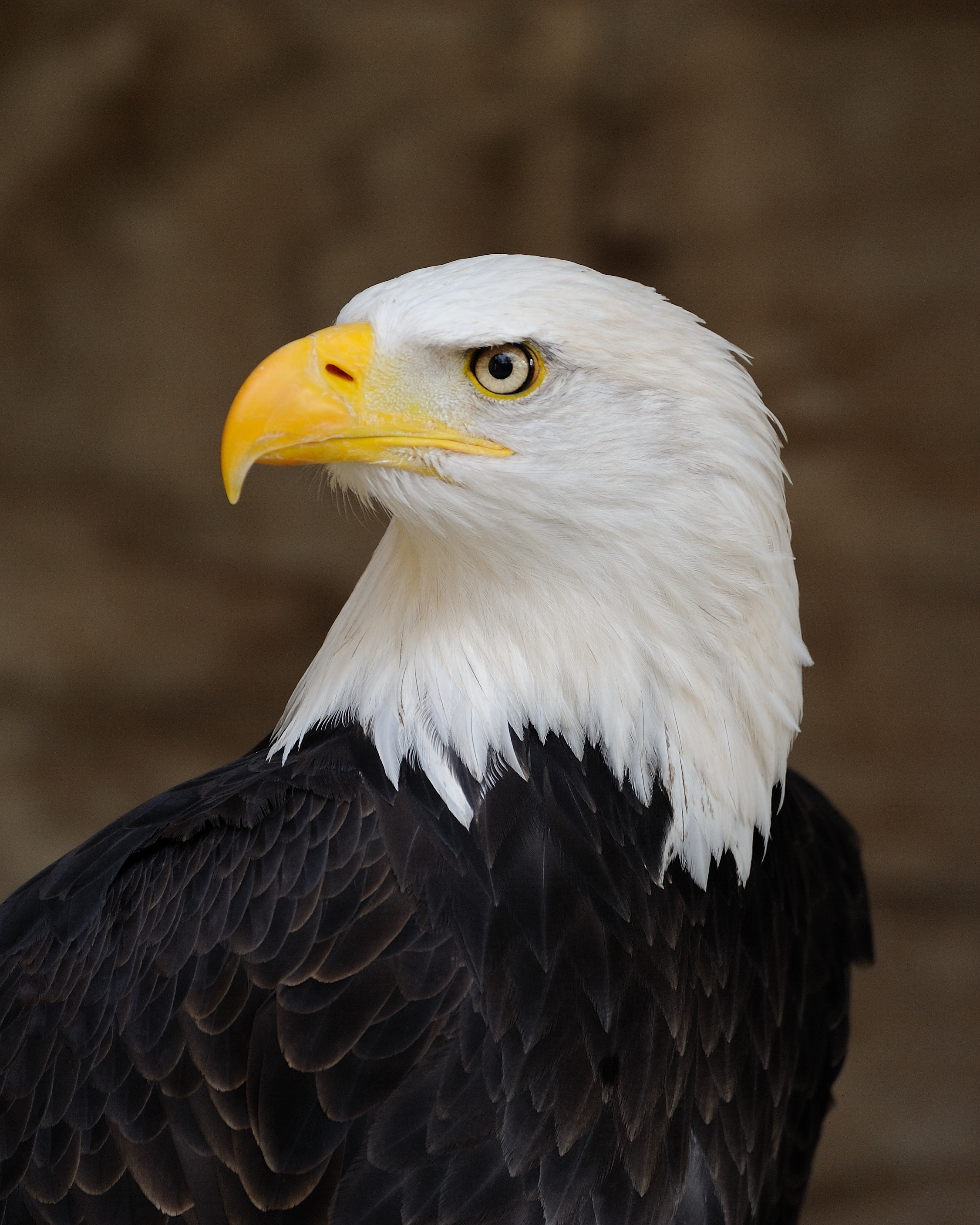 The bald eagle has been the national bird of the United States since 1782.