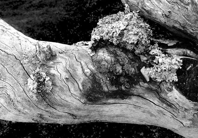 lichen-crowned longsnout