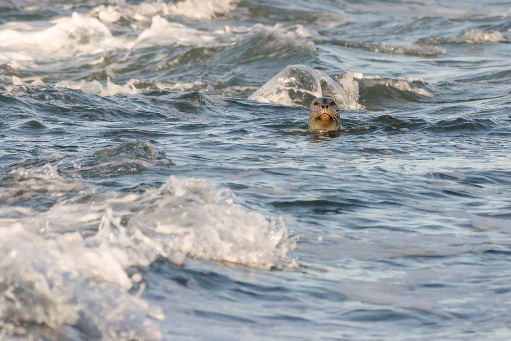 A harbor seal in the surf at Yaquina Head Outstanding Natural Area