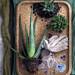 Die Aloe als Zimmerpflanze des Monats August