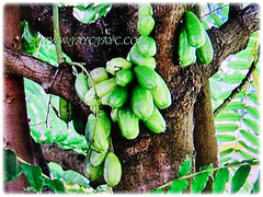 Numerous firm and juicy fruits of Averrhoa bilimbi (Bilimbi, Bilimbi Tree, Cucumber Tree, Tree Sorrel, Belimbing Asam/Buloh in Malay), 19 Aug 2017