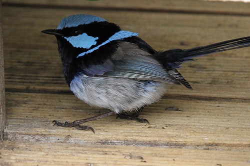Blue Wren Sits Close